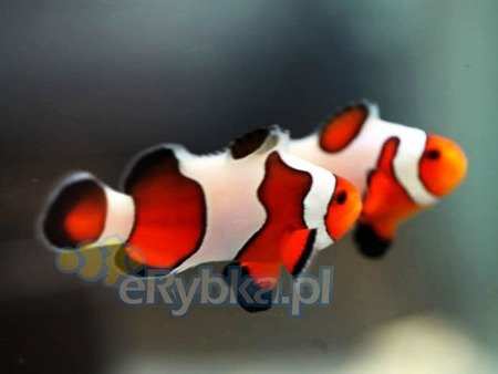 "Amphiprion ocellaris ""Fancy White"" S"
