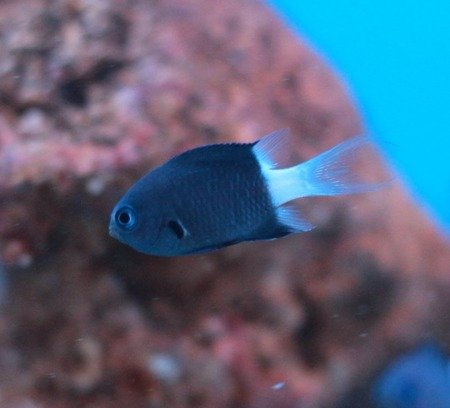 Chromis margaritifer S/M