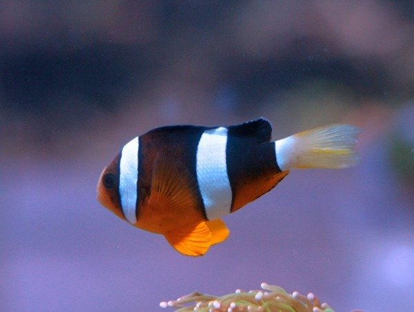 Amphiprion clarkii S Hodowlane
