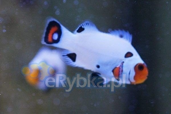 "Amphiprion ocellaris ""Black Eared White"" S"