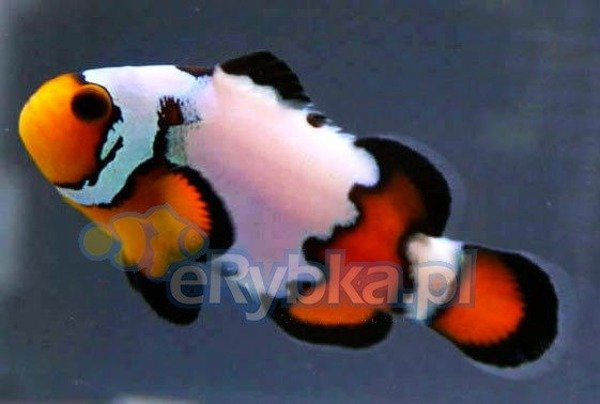 "Amphiprion ocellaris ""Black Ice"" S"
