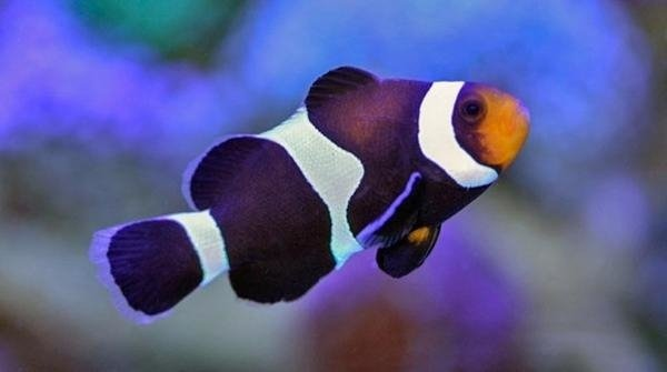 Amphiprion ocellaris Black M
