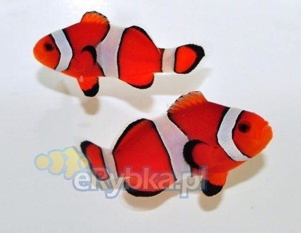 "Amphiprion ocellaris ""Fancy Vivid"" S"
