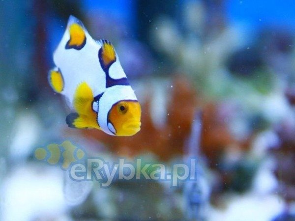 Amphiprion ocellaris M Hodowlany Picasso