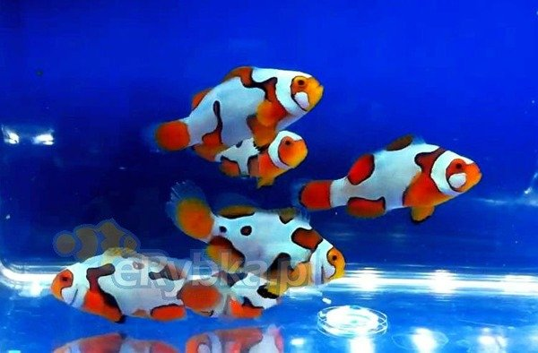 "Amphiprion ocellaris ""Picasso Extreme"" M"