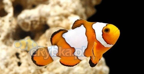 "Amphiprion ocellaris ""Snowflake"" S"