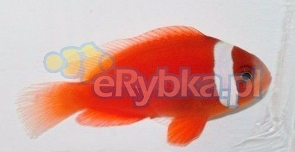 "Amphiprion rubrocinctus ""Ruby"" S"