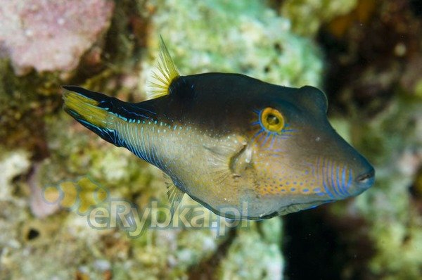 Canthigaster rostrata M