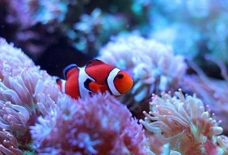 Amphiprion ocellaris M/L