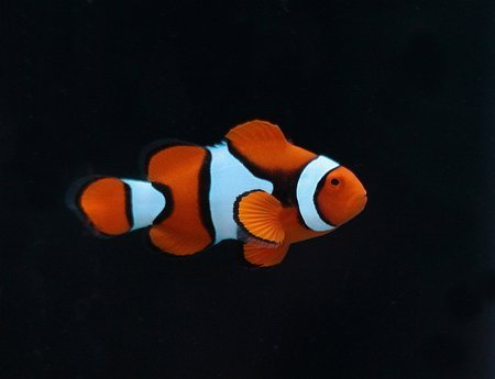 Amphiprion percula M