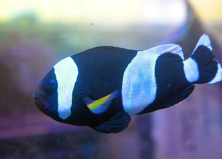 Amphiprion polymnus S/M