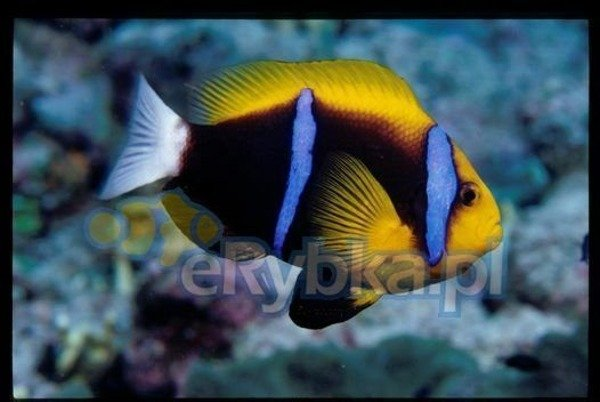 Amphiprion chrysopterus M