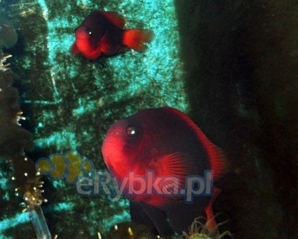 "Amphiprion melanopus ""Stripeless"" S/M"