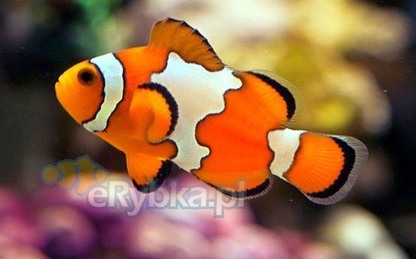 Amphiprion ocellaris S Hodowlany Snowflake